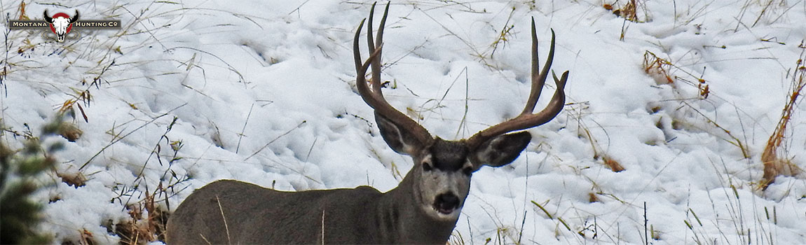 Mule Deer Buck standing in sagebrush